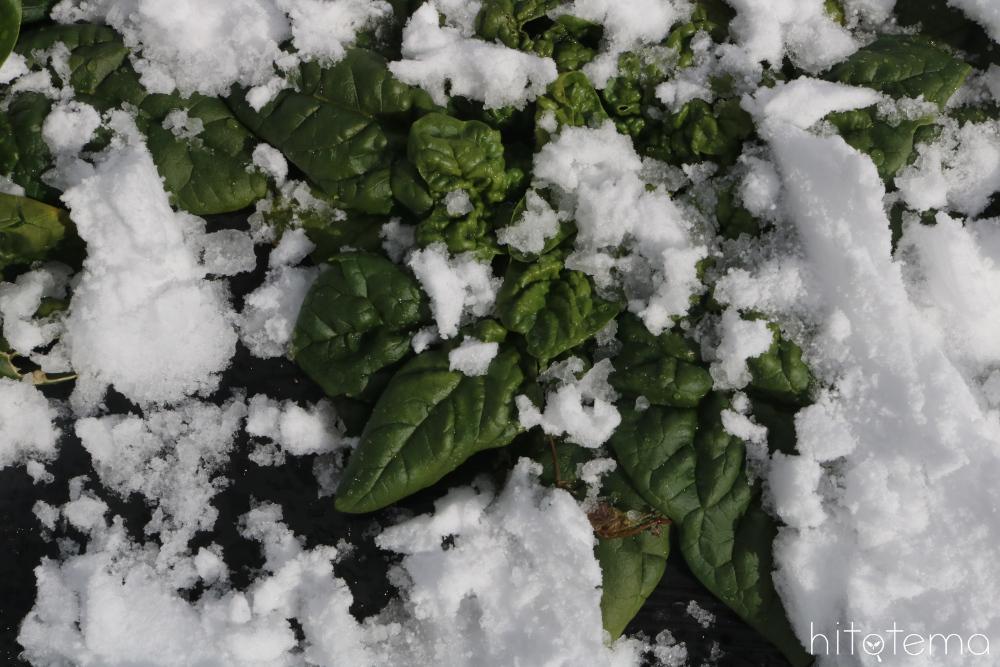 冬のほうれん草のお話