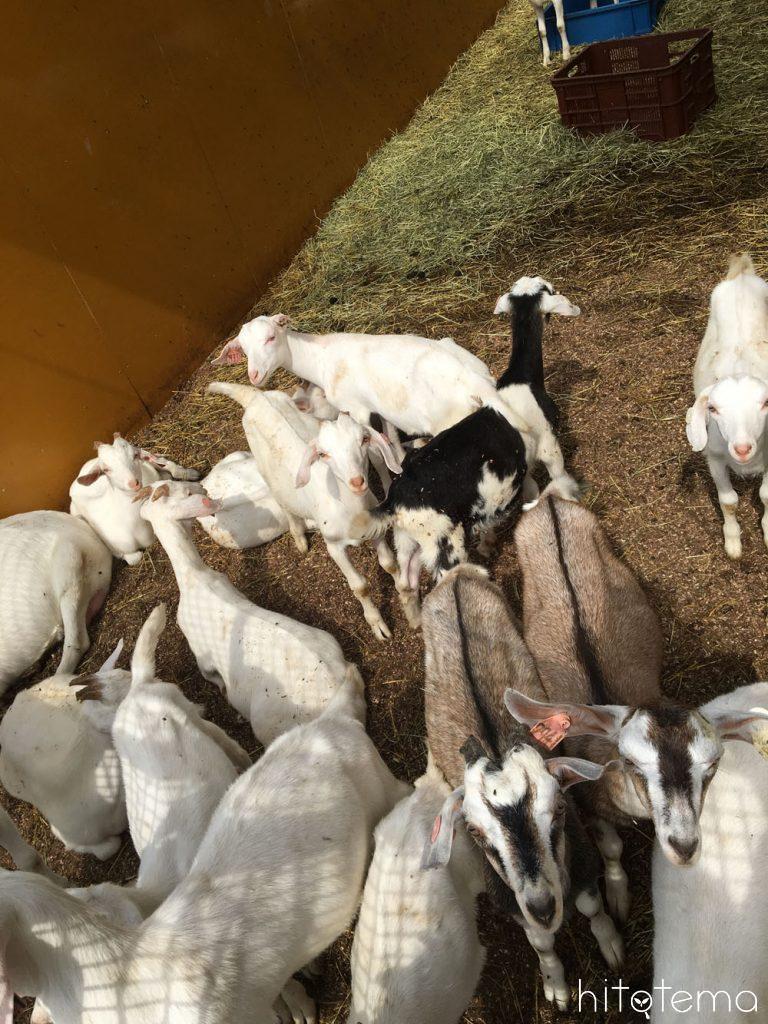 今牧場の山羊