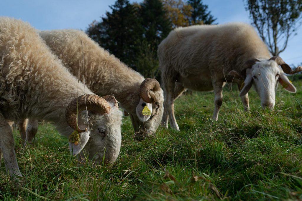 オッソーの谷の羊
